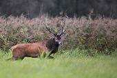 Red deer in the wild.