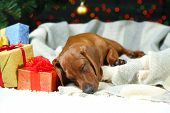 foto of puppy christmas  - Little cute dachshund puppy on Christmas background - JPG
