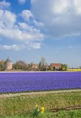 Flower Field,Lisse,Netherlands,Benelux