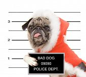 a mugshot of a pug in a santa suit