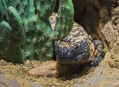 stock photo of gila monster  - Close-up shot of a gila monster under the cactus