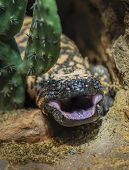 stock photo of gila monster  - Close - JPG