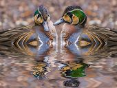 foto of crested duck  - The Baikal Teal  - JPG