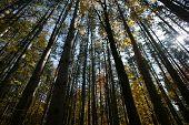 Tall Trees Reaching the Sky