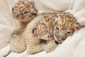 Three cute lions cubs (Panthera leo), two weeks old