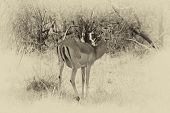 Sepia Toned Picture Of Alert Impala Ewe Looking Backwards