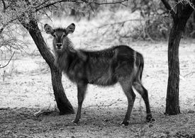 stock photo of bosveld  - Black and White Picture of Alert Waterbuck Listening Carefully to Every Sound - JPG