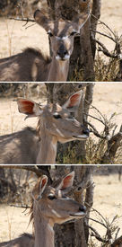 stock photo of bosveld  - Three Picture Series of Kudu Ear Positions when Listening - JPG