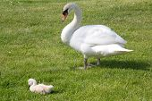 swanmother with child
