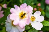 Eglantine And Bee