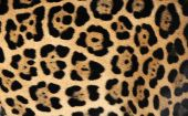close up of jaguar fur