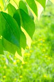 Green poplar leaves on defocused green background