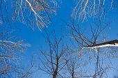 Silhouettes Of Bare Birches