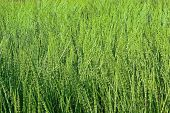 image of horsetail  - Thickets of green horsetail the entire background - JPG