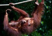 Mom Orangutan