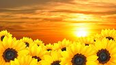 Flower background of yellow sunflowers at sunset