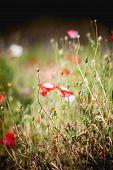 stock photo of opium  - Opium poppy flower angkhang mountain chiang mai Thailand  - JPG