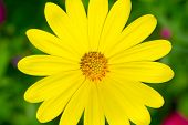 Yellow marguerite macro
