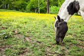 Pony eating in yellow flowers