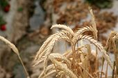 Wild Wheat grows in a clump on the side of a road. Wheat is a member of the grass family which is a