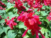 Pink Salvia Flowers