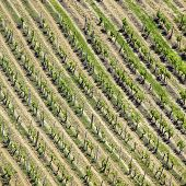 High Angle View Of Vineyard