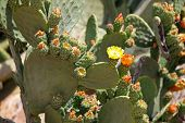 foto of prickly-pear  - Prickly Pear Cactus - JPG