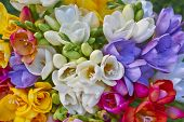 variety of colorful freesias