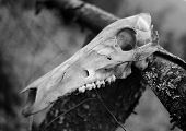 Animal Skull - Black - White