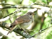 picture of nightingale  - Thrush Nightingale resting on a branch in its habitat - JPG