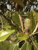 Fruit of California Magnolia Tree