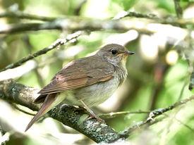 foto of nightingale  - Thrush Nightingale resting on a branch in its habitat - JPG