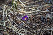 picture of primrose  - Spring primroses in Russia  - JPG