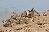 Red Billed Quelea - African Wild Bird Background - Flutter of Swim and Pleasure