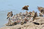Red Billed Quelea - African Wild Bird Background - Flutter of Swim and Pleasure