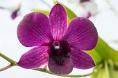 Violate orchid