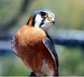 Ameican kestrel Falcon