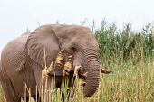 African Elephant In Etosha National Park