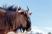 Portrait Of A Wild Wildebeest Gnu