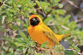 Yellow Weaver - African Wild Bird Background - Golden Summer Pose