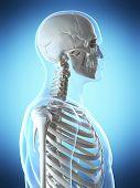 3d rendered illustration of the male skeleton