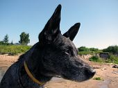 Eared dog looking out for something