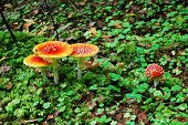 foto of non-toxic  - Amanita muscaria - beautiful mushroom - very toxic. European forest.