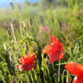 Provence Flower