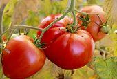 Slicing Tomatoes, Home Gardening