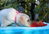 Yellow Labrador Puppy With Guelder-rose