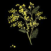 picture of mimosa  - Sprig of Mimosa - JPG