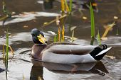 image of male mallard  - Male mallard duck in water in Sweden - JPG