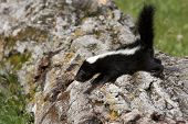 picture of skunk  - Young skunk trying to climb over a log - JPG