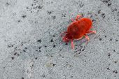 foto of mites  - macro photography of red mite - JPG